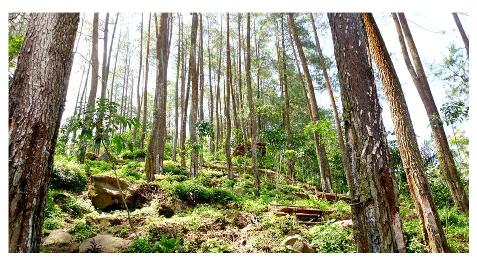 Hutan pinus dan keteduhannya