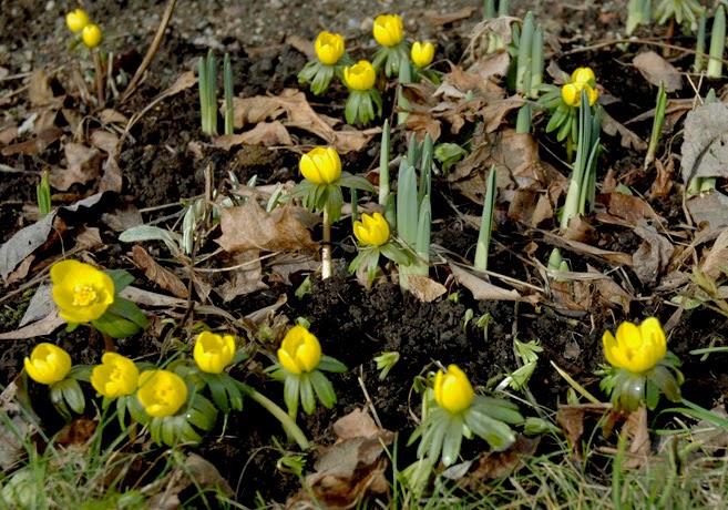 Blommande vintergäck och påskliljblast som sticker upp.