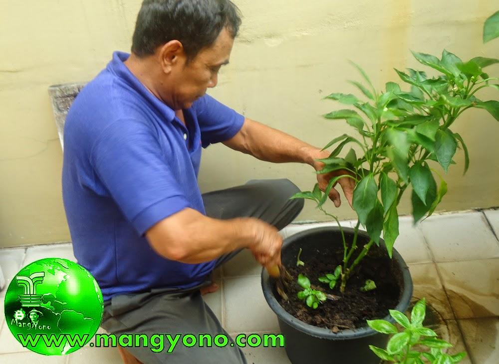 Mas Sukri sedang menimbun kompos di tiap - tiap tanaman yang menggunakan pot. Poto jepretan Admin 15/11/2014