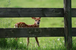 Fawn by the Fence