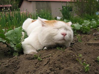 Foto Shironeko Kucing Termalas di Dunia 06