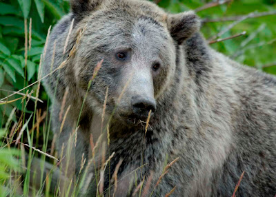 Grizzly Bear animal fact