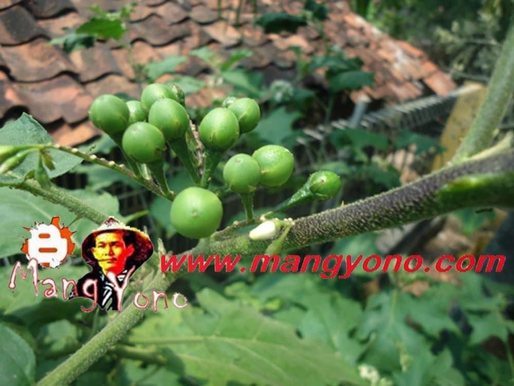 Pohon Takokak dan daunnya mirip dengan terong, lebih mirip lagi dengan terong peuheur pada pohonnya berduri.