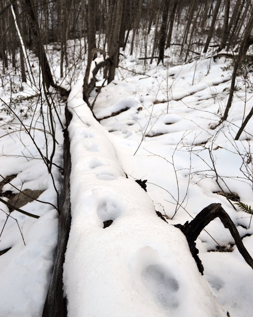 Bobcat footprints on log in snow