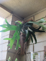palm frond as pot for staghorn fern