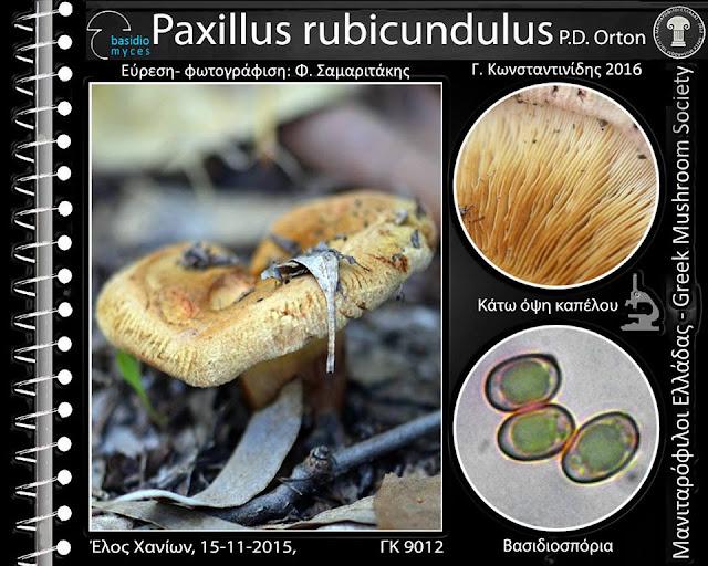 Paxillus rubicundulus P.D. Orton