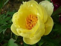 黄色い牡丹の花。