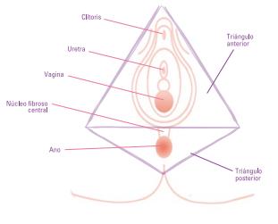 musculatura perineal