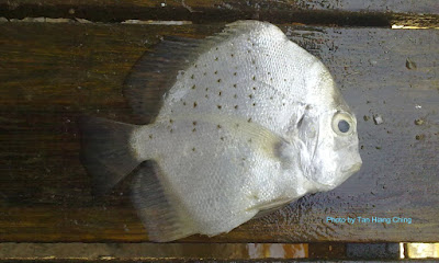Spotted Sicklefish, Drepane punctata, Cao Xi