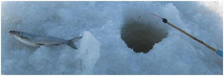 Нельмушка - маленький сижок из Кубенского озера