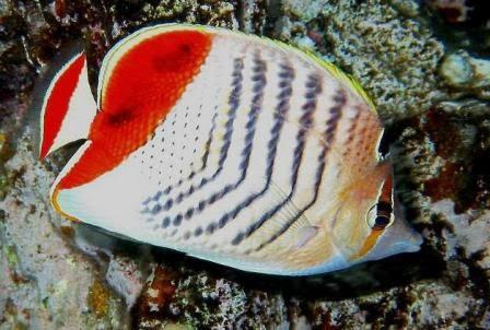 Peces y plantas ornamentales chaetodon xanthurus pez for Reproduccion de peces ornamentales