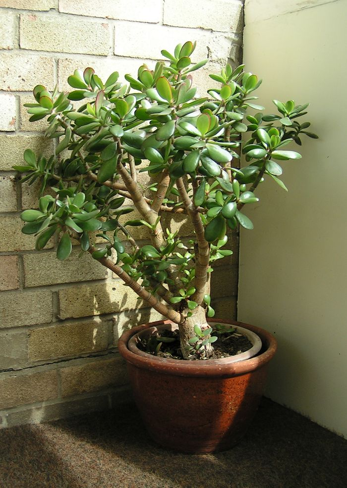 Arcturas idyll crassula - Indoor water plants list ...