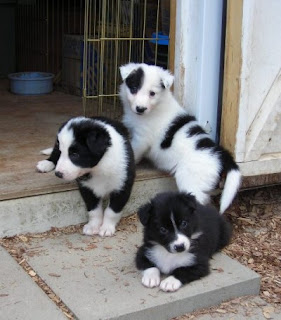 Cute Border Collie Puppies Pictures