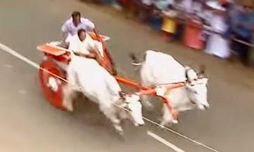 Bullock Cart Race, Kakkoor, Kochi