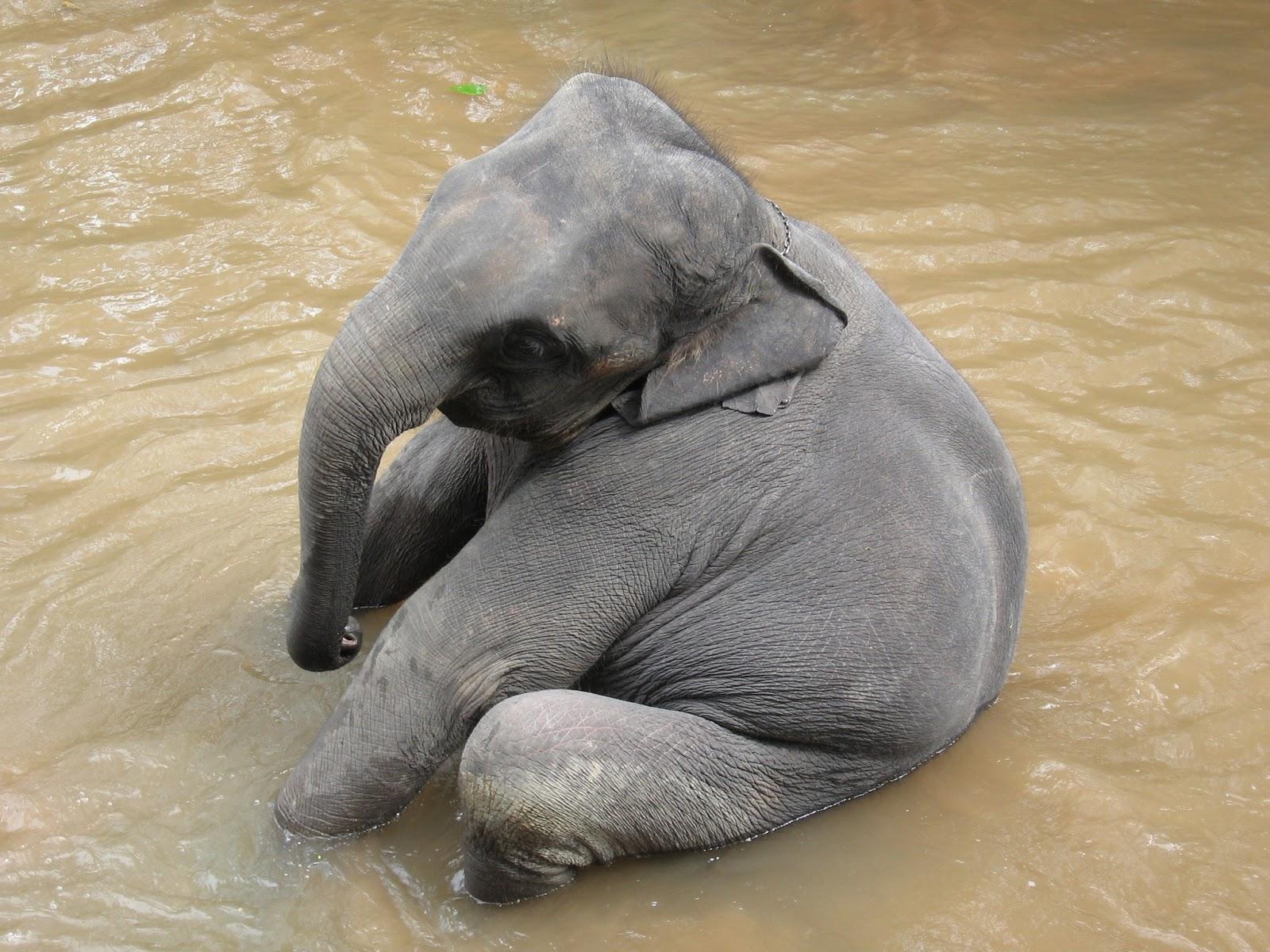 Baby Elephants Cute elephant hd wallpapers...