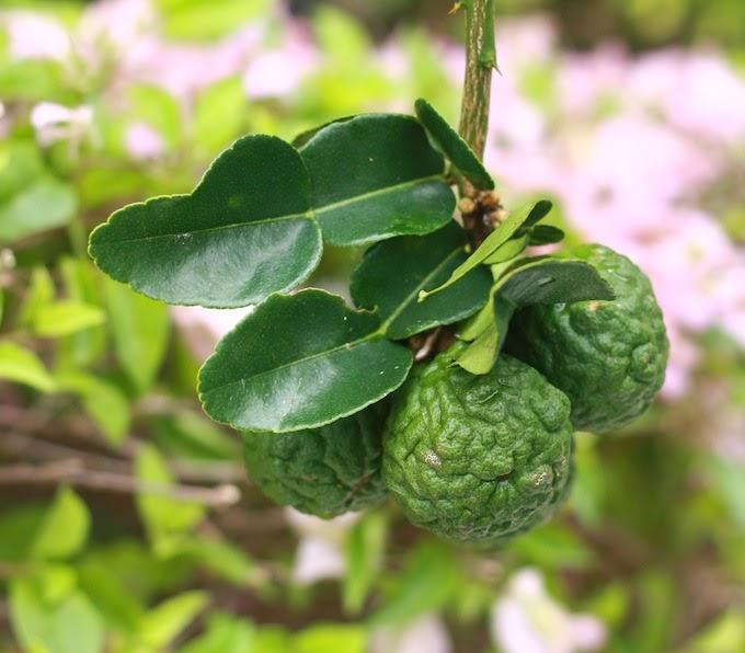 Spotlight Spice How Grow Kaffir Lime Tree