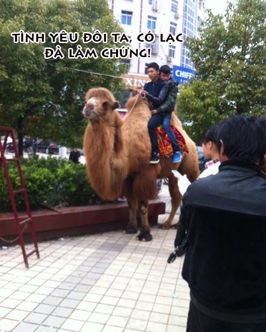 Ảnh hài hước 2 chàng trai yêu nhau trên lưng lạc đà
