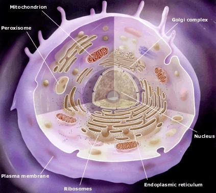 Membran Sel, Inti Sel dan Sitoplasma