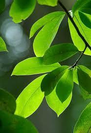 khasiat daun sirsak