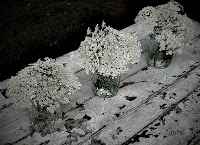 Queen Anne's Lace in Jelly Jars Rural Events