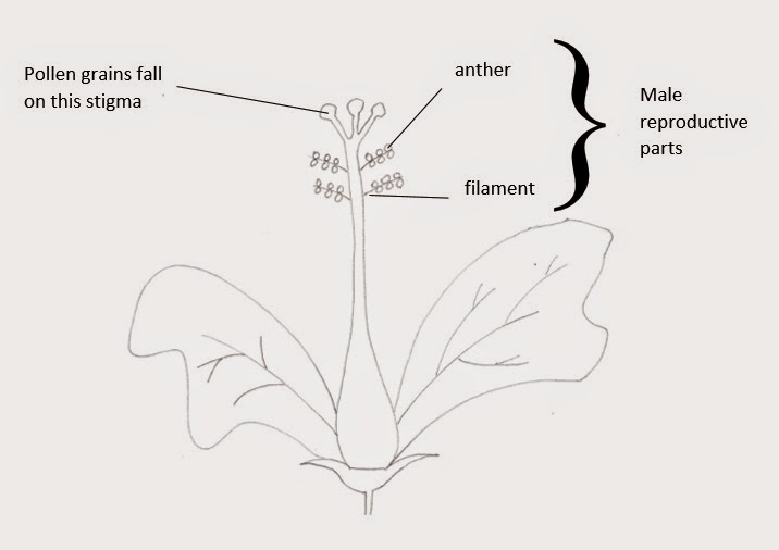Hibiscus flower cycle diagram auto wiring diagram today draw a hibiscus flower and label it flower images 2018 flower images rh mykbgold us morning ccuart Images