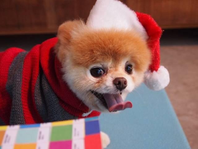 Boo World's Cutest Dog high resolution