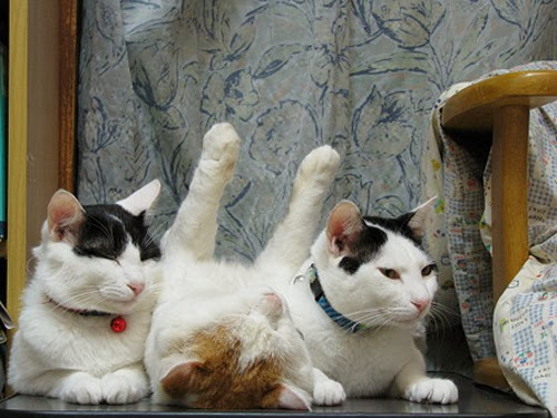 unusual cats positions3