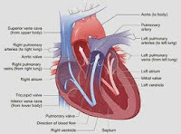 cara kerja jantung, kerja jantung, anatomi fisiologi jantung, Blog Keperawatan