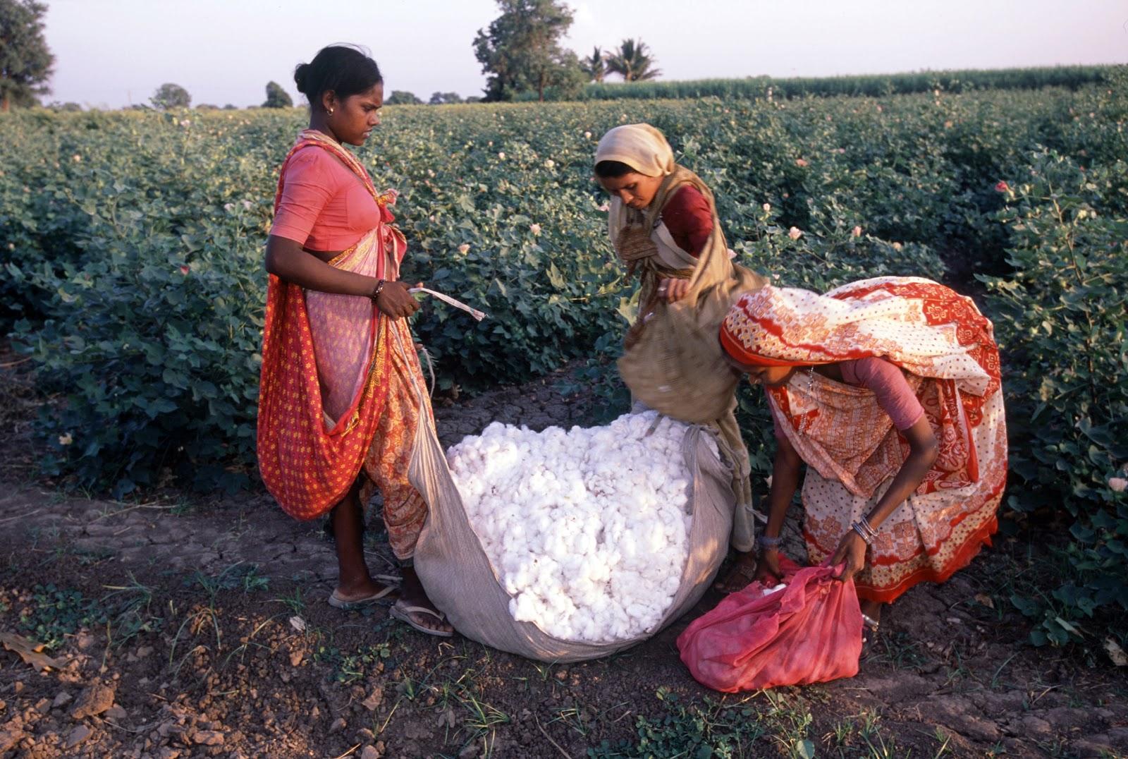 ГМО: Bt-хлопок и суицид индийских фермеров