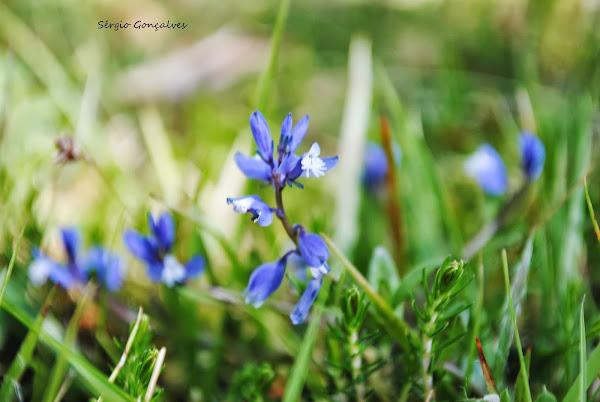Erva vivaz / Polygala micrifylla, conhecida ainda por Giesta Azul