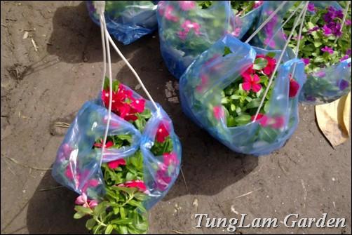 bán Dừa cạn rủ, dừa cạn, hoa dừa cạn rủ, hoa dừa rủ, dừa cạn rũ, hoa treo, hoa ban công