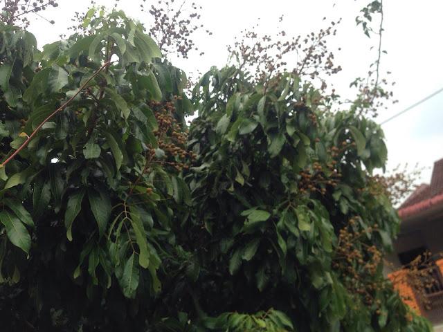 buah mata kucing hasil tanaman sendiri