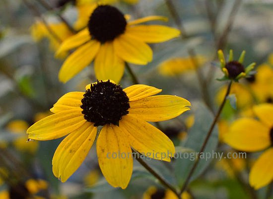 Browneyed Susan-Thin-leaved Coneflower