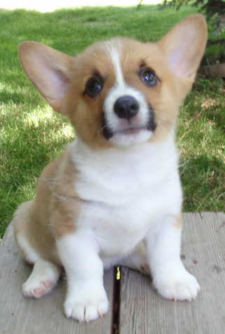 Welsh Corgi Puppies on Pembroke Welsh Corgi Puppy Best Images   Puppy Photos Collection