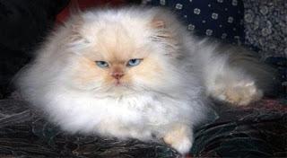 Gambar Kucing Persia Lucu 100020