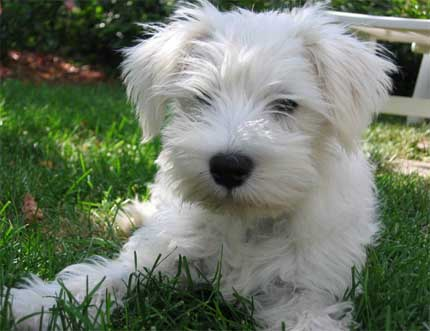 Cutest Dog Breeds In The World Miniature Schnauzers