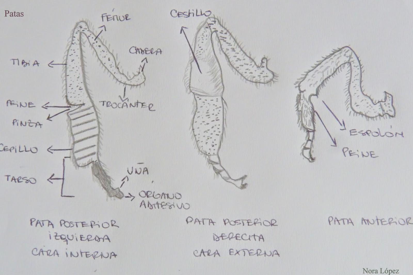 Lujoso Cartel De La Anatomía De La Abeja Regalo - Anatomía de Las ...