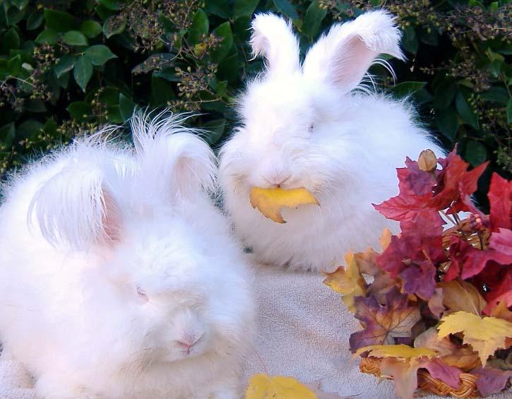 مطلوب  Angora+rabbit+4