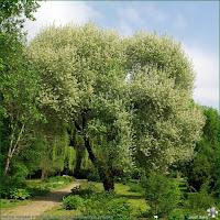 http://plantsgallery.blogspot.com/2013/04/prunus-mahaleb-cerasus-mahaleb-wisnia.html