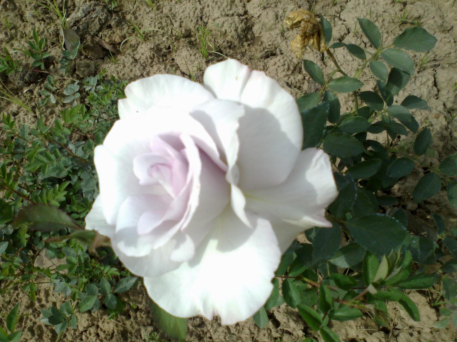 I Love Roses Trip To Rose Garden Chandigarh