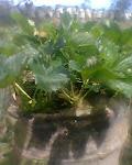 Tanaman stroberry dengan menggunakan eksragen