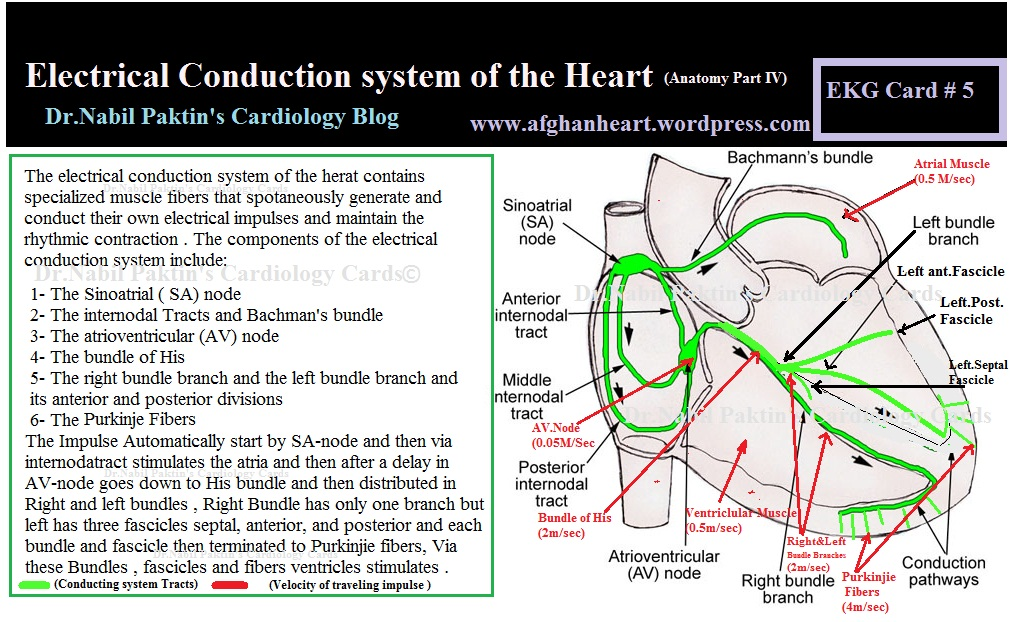Anatomy of heart conduction system