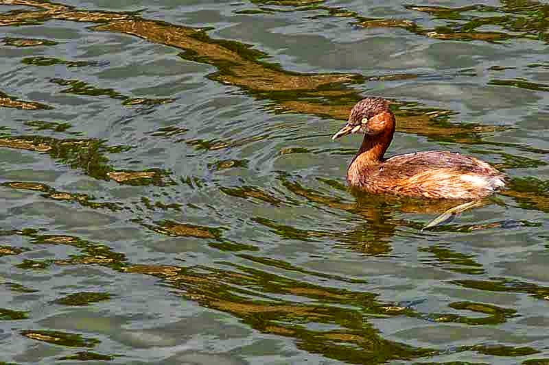 bird, Little grebe