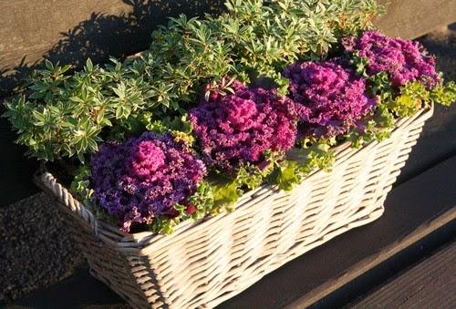 Giardinaggio laura ponte in valtellina cavolo ornamentale for Cavolo ornamentale