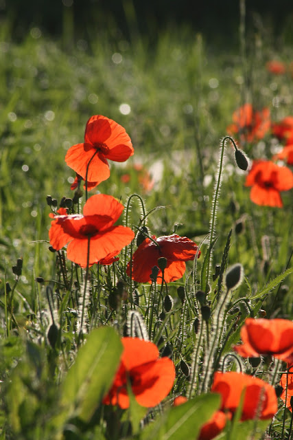 Poppies In Sunshine by Sophie Duncan