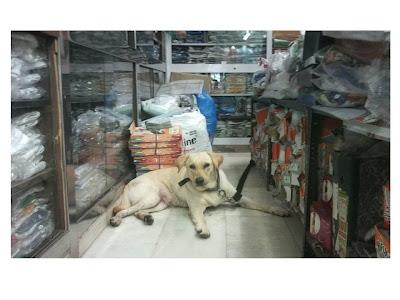 Abandoned Labrador