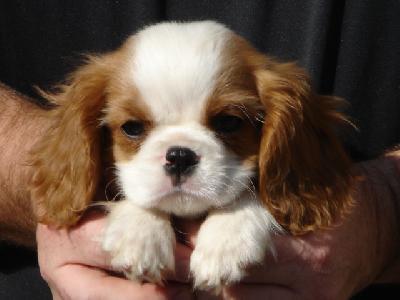 Cavaleir King Charles Spaniel Puppies on 02 Cavalier Blue