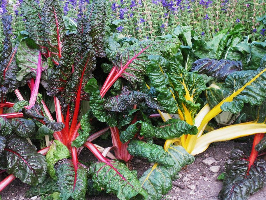 Le blog de parcs et jardins de l 39 oise autres photos du - Bettes au jardin ...