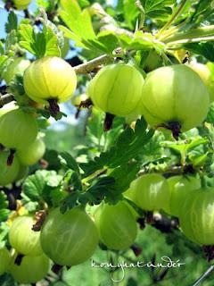 gooseberry-ripening