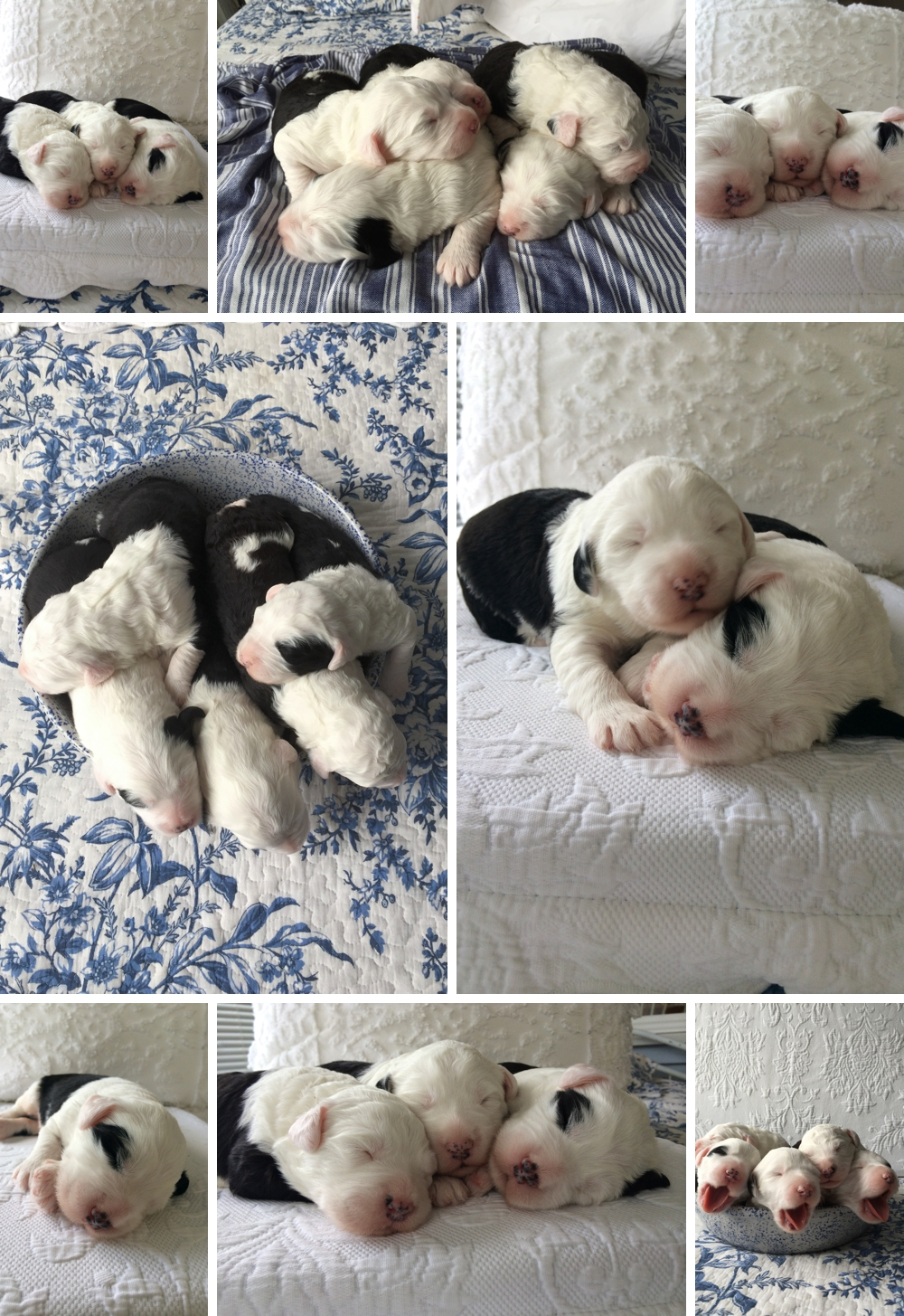 old english sheepdog puppies, SnowDowne OES, oes puppies, portland oregon breeders